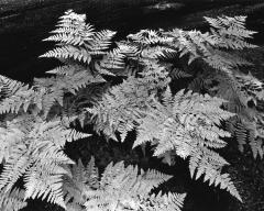 Autumn Ferns, Zumwalt Meadows