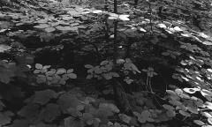 Dogwood Glen, Giant Forest