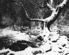 Snowstorm, Ansel's Tree
