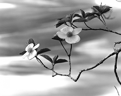 Dogwood and Flowing Water